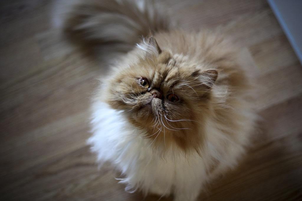 Gato Persa mirando hacia arriba