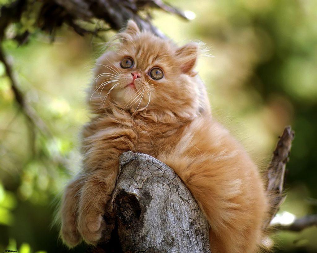 Gatos Persas Atigrados