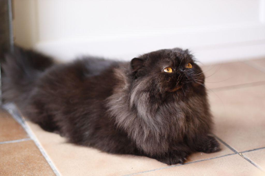 Nombres para gato persa