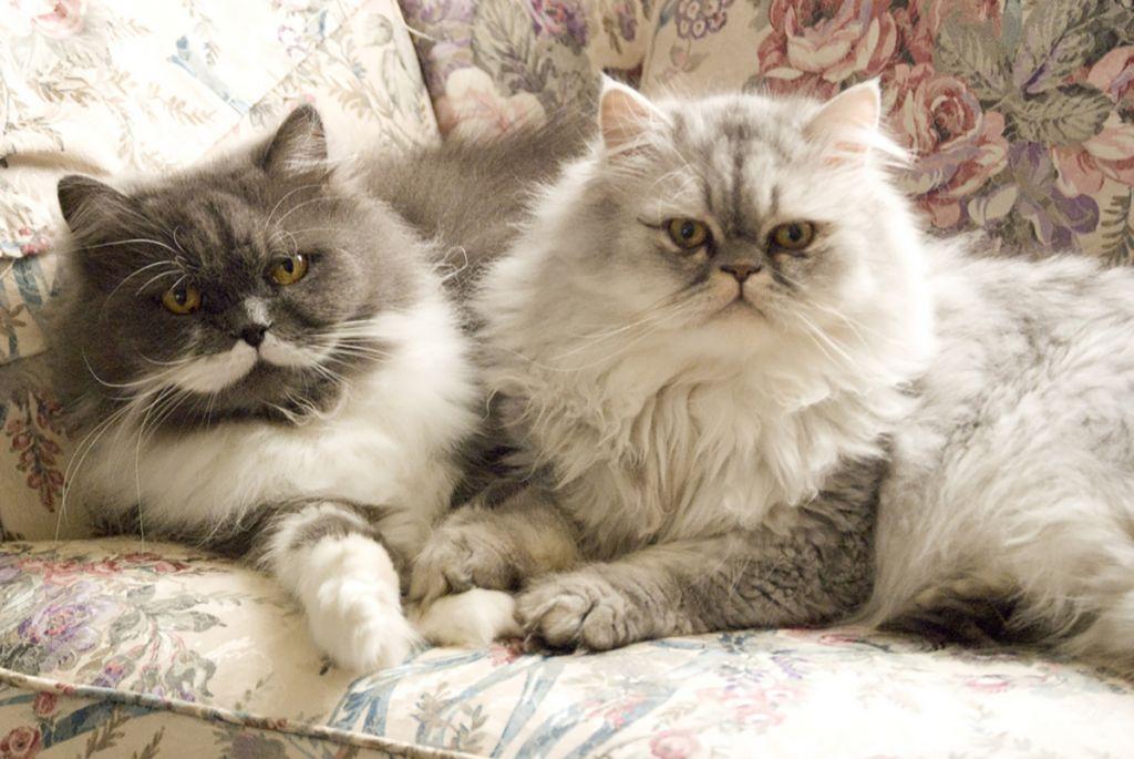 Como elegir un gato persa