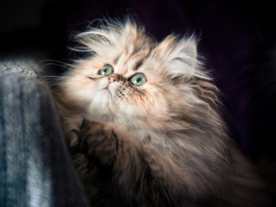 ¿Cuánto cuesta un gato persa?