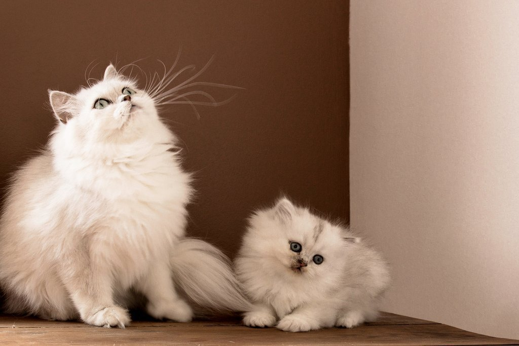 Cuidados del Gato Persa