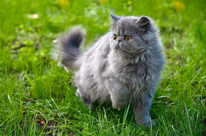 Gato Persa de Color Sólido Azul