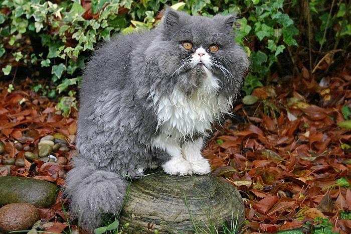 Gatos Persas Bicolor y Calico