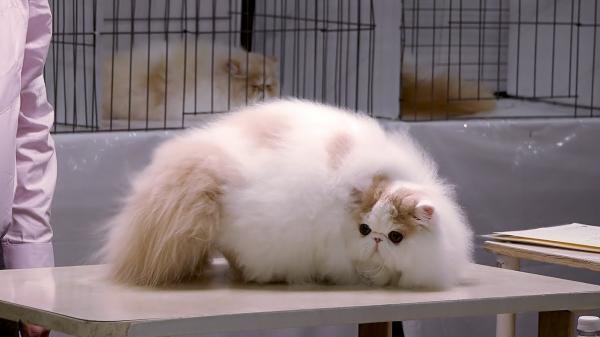 Bicolor y Calico: Tipos de Gatos Persas