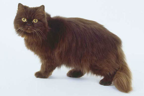 Gato Persa de Color Sólido Chocolate