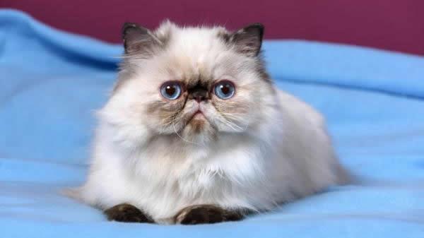 Himalayo: Tipos de Gatos Persas