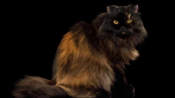 Particolor: Tipos de Gatos Persas