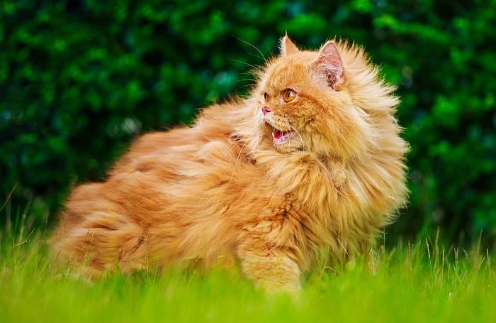 Gato Persa de Color Sólido Rojo