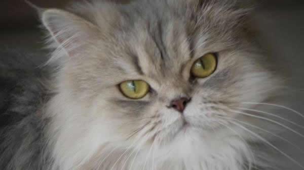 Sombreados y Ahumados: Tipos de Gatos Persas