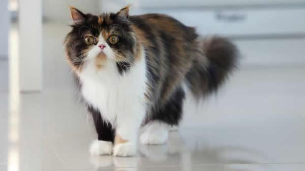 Atigrados: Tipos de Gatos Persas