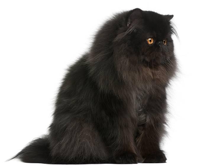 Gato Persa de Color Sólido Negro