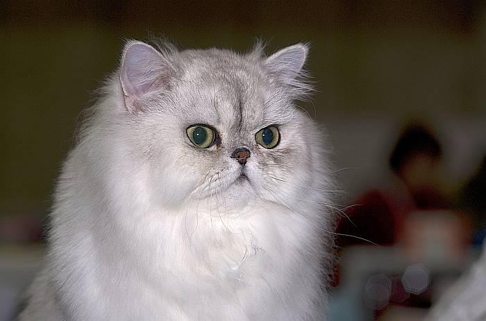 Tipos de Gatos Persas: Plateado y Dorado