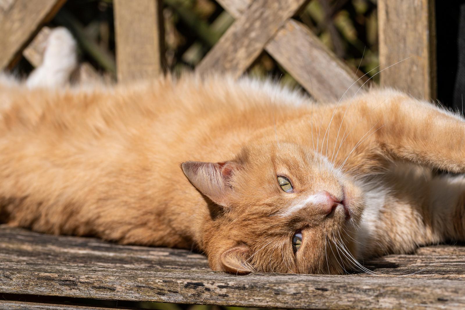 Gatos de Jengibre: razas y opciones de color