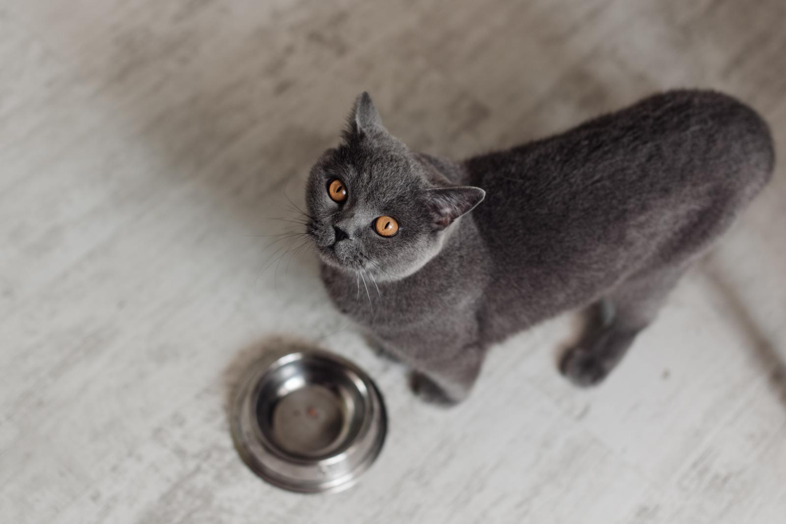 Por qué mi gato dejó de comer comida seca