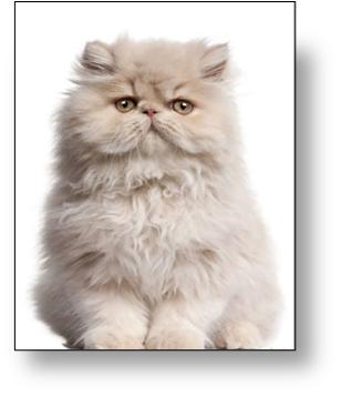 gato persa americano adorable