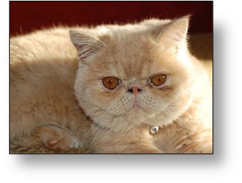 gato persa americano raza